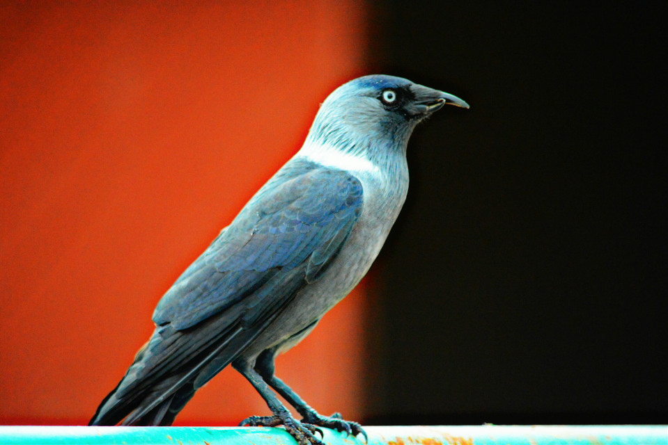 #Crow #bird #animal #nature #photography #portrait #hanging #excitement