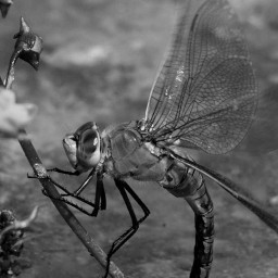photography blackandwhite insect pictartediting