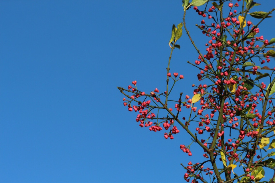 A #pink tree of hearts on a #blue #sky saturday. The gorgeous Spindleberry. One of Britains oldest hedgerow plants and one of my favourites for its beautiful #berries.