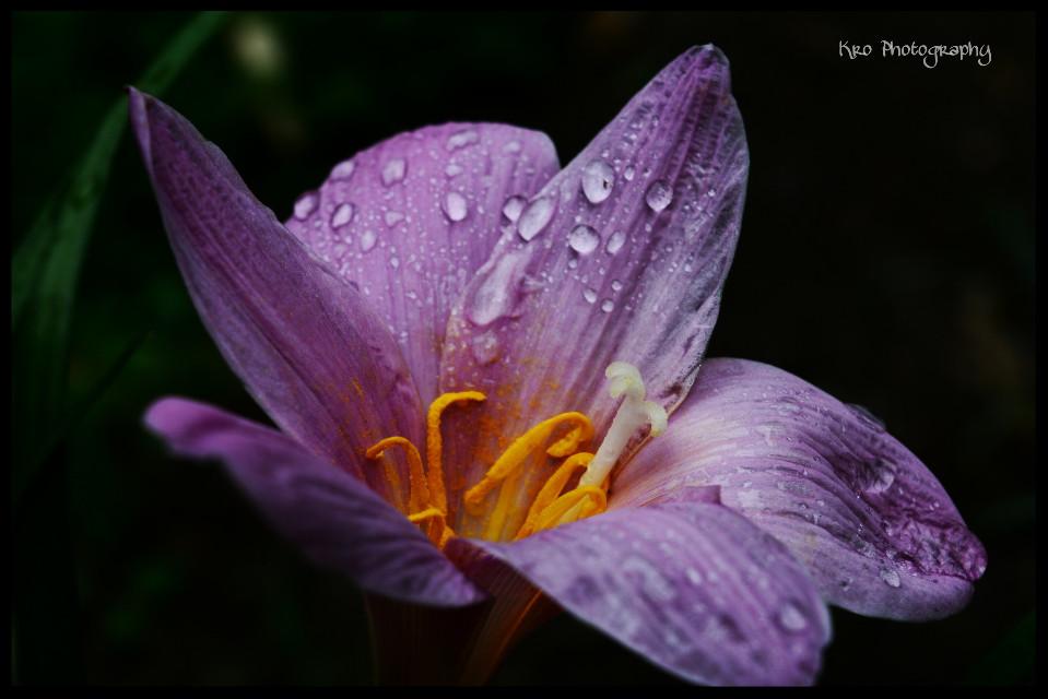 #flower #love #freetoedit #nature #macro #rain