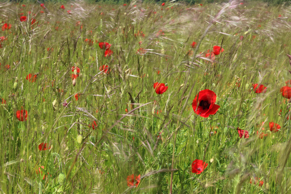 #summer #poppy #field  when the only #movement is a slight breeze to sway the #grasses