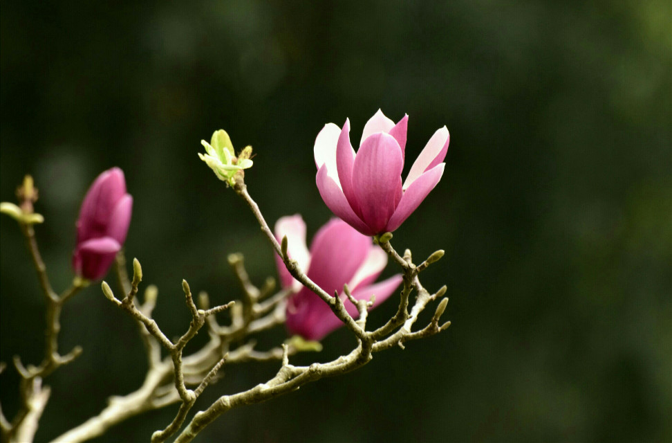 magnolia  #silence #nature #flowers