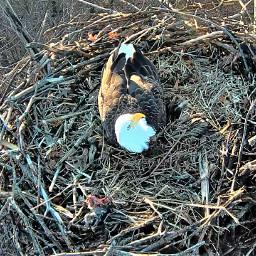 eagle animals serenity mycity america