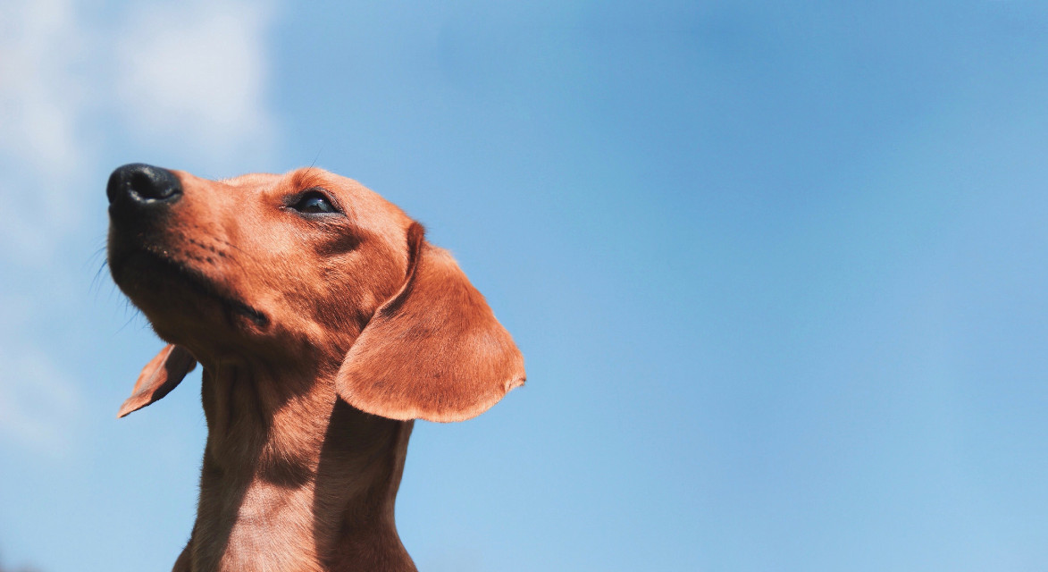 tank & the big blue sky  #sky #blue #vast #dachshund #dog #puppy #wild #animal #majestic #expansivesky #poochpic #FreeToEdit