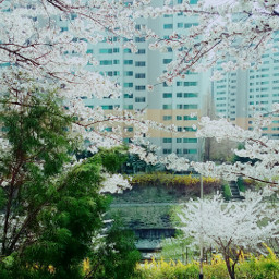 spring cheeryblossoms flower pretty scape