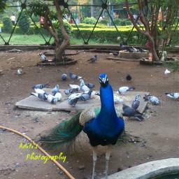 vote peacock nagpur royalblue wppzoo