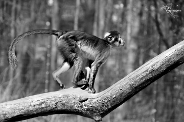 wppzoo monkey zoo animal blackandwhite