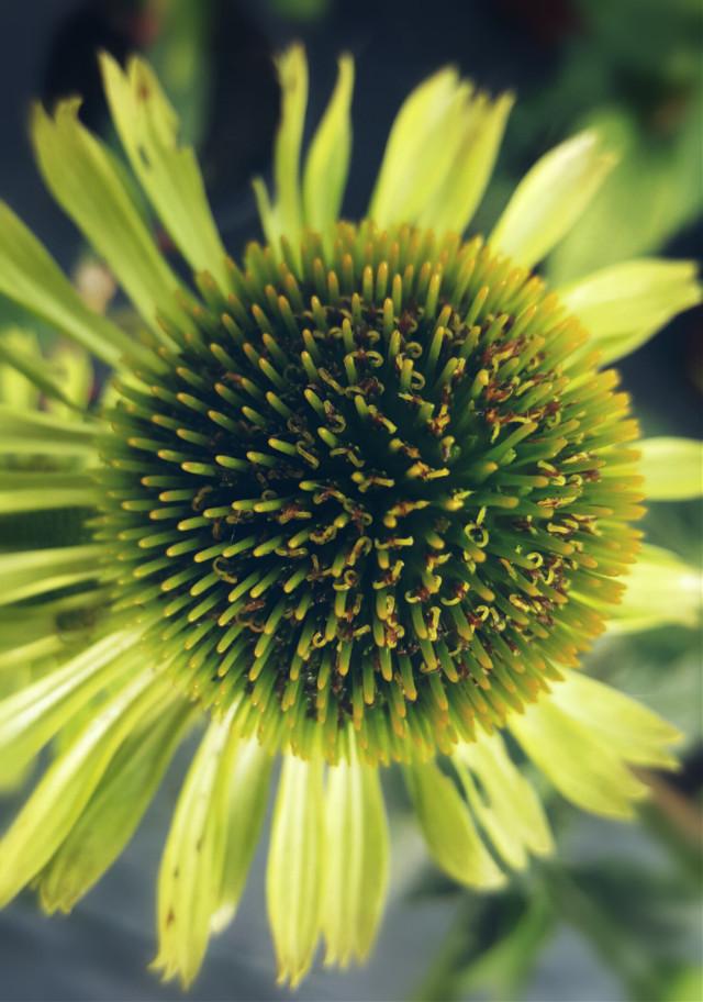 #flowers  #nature #mygardenflower #mygardenpics #flowerphotography