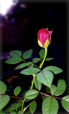 vignette adjusttool rose myrose