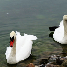 photography nature animals swans oilpaintingeffect