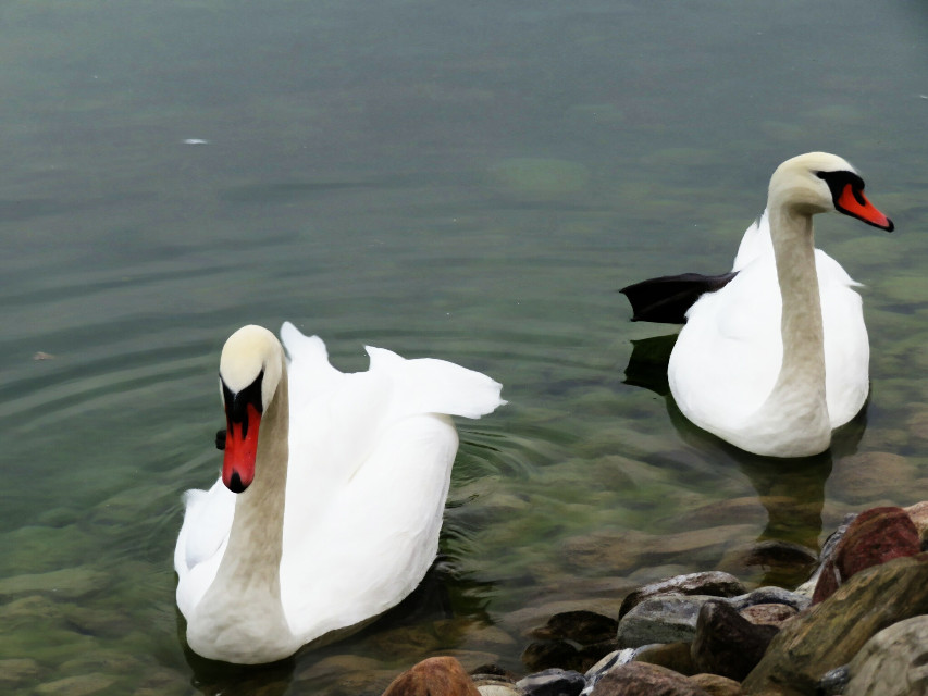 #photography #nature  #animals  #swans  #oilpaintingeffect