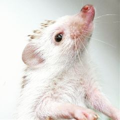 hedgehog freetoedit white pets animals